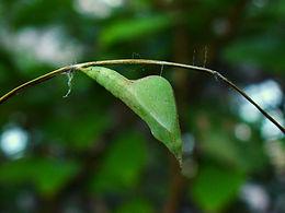 Eurema boisduvaliana, Boisduval's Sulphur pupa