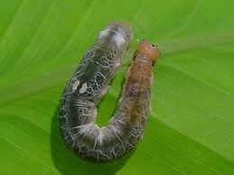 Calpodes ethlius, Brazilian Skipper larva