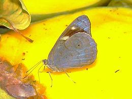 Eunica monima, Dingy Purplewing