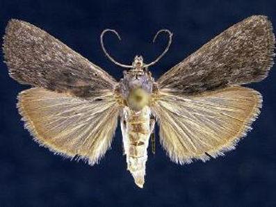 Alatuncusia bergii, Berg's Alatuncusia Moth