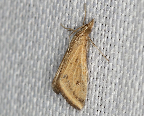 Microtheoris ophionalis,  Yellow Veined Moth