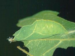 Asterocampaclayton flora, the Tawny Emperor pupa