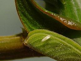 Phoebis sennae, Cloudless Sulphur egg