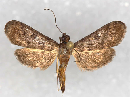 Penestola bufalis, Black Penestola Moth