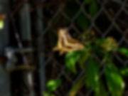 Papilio aristodemus, Schaus' Swallowtail