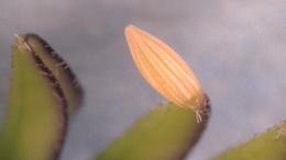 Eurema nise, Jamaican Sulphur egg