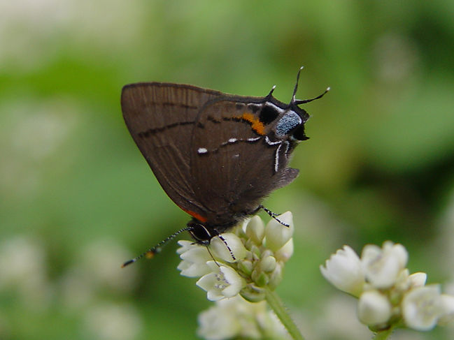 Electrostrymon angelia, Fulvous Hairstreak