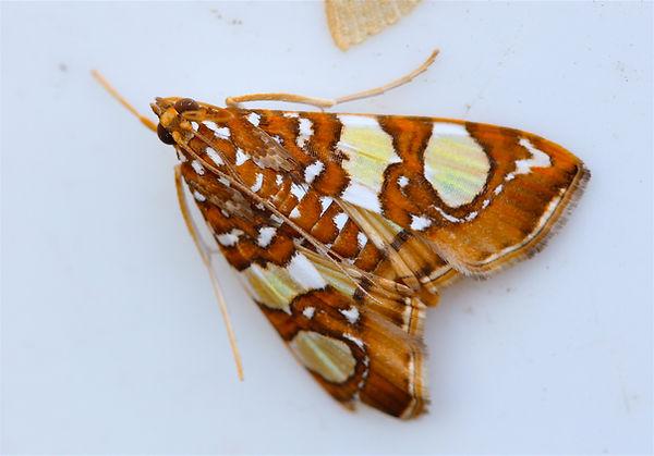 Glyphodes sibillalis, Mulberry Leaftier Moth