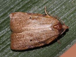 Amorbia concavana