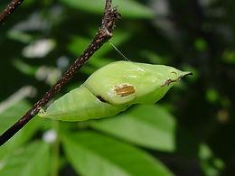Anteos marulea, Yellow Angled Sulphur pupa