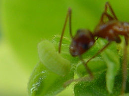 Cyclargus thomasi bethunebakeri, Miami Blue larva symbiotic relationship with ants