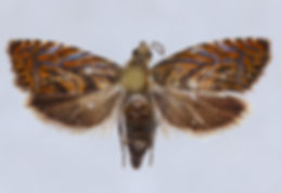Dichrorampha manilkara