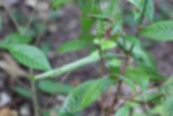 Desmia ploralis, Mournful Desmia Moth larval tent