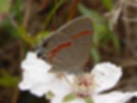 Calycopis cecrops, Red-banded Hairstreak