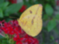 Phoebis agarithe, Large Orange Sulphur