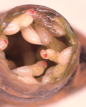 Heliconius charithonia tuckeri, Zebra Heliconian pupa parasites