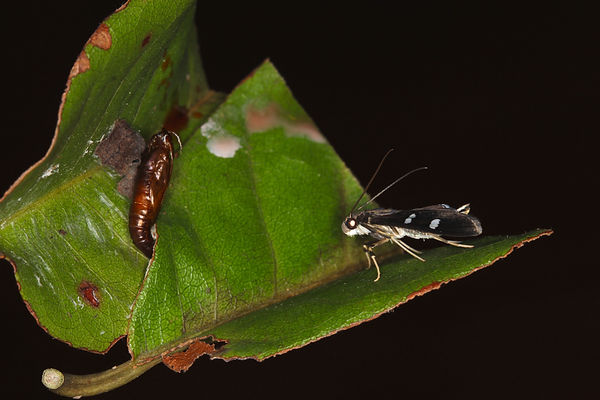 Desmia ploralis, Mournful Desmia Moth