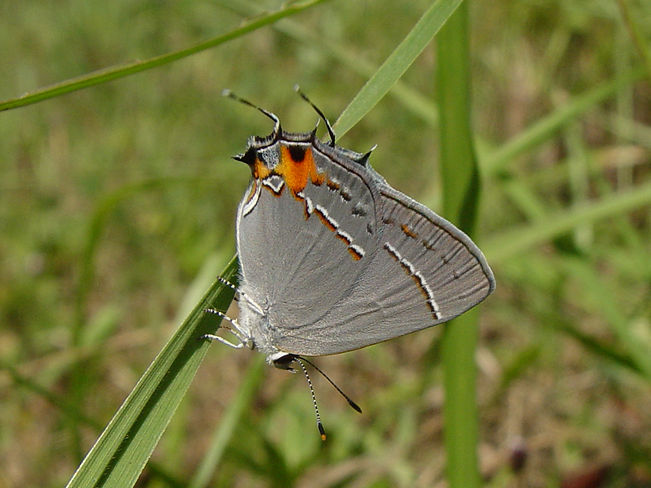 Strymon melinus, Gray Hairstreak