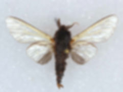Thyridopteryx ephemeraeformis, Evergreen Bagworm Moth