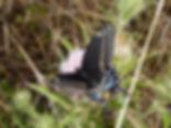 Papilio polyxenes, Black Swallowtail