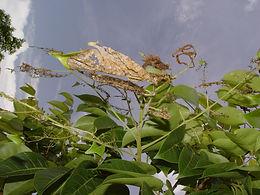Eunica monima, Dingy Purplewing larval tent