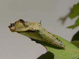 Ascia monuste, Great Southern White pupa