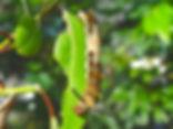 Limenitis archippus floridensis, The Florida Viceroy larva