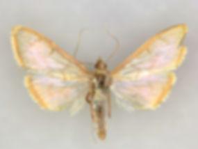 Epicorsia oedipodalis