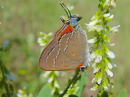Satyrium favonius, Oak Hairstreak