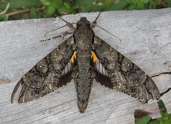 7772 – Cocytius antaeus, Giant Sphinx Moth