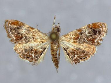 Dicymolomia metalophota