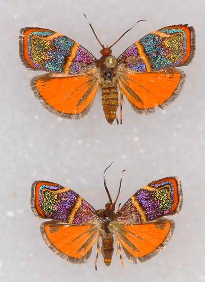 Hemerophila diva, Diva Hemerophila Moth