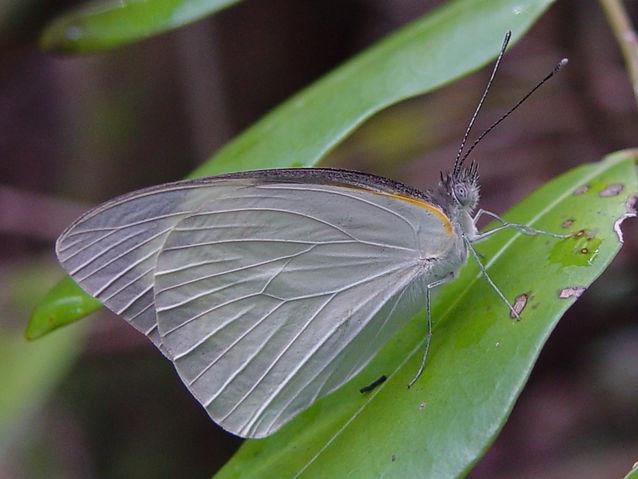 Appias drusilla, Florida White