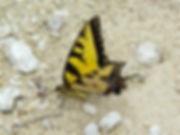Papilio glaucus, Eastern Tiger Swallowtail
