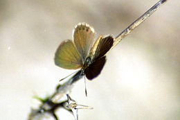 Brephidium isophthalma pseudofea, Eastern Pygmy-Blue