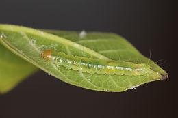 Amorbia concavana larva