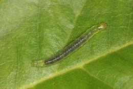 Diaphania hyalinata, Melonworm Moth larva