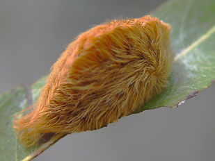 Megalopyge opercularis,  Southern Flannel Moth larva