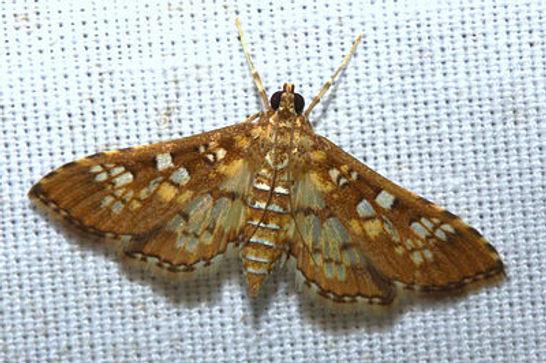Samea ecclesialis, Assembely Moth