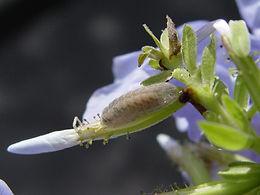 Leptotes cassius, Cassius Blue larva