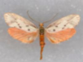 Lactura pupula, Bumelia Leafworm Moth