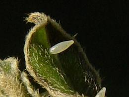 Eurema dina, Dina's Sulphur egg