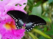 Papilio troilus, Spicebush Swallowtail