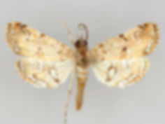 Elophila gyralis, Waterlily Borer Moth