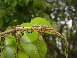 Eunica monima, Dingy Purplewing larva