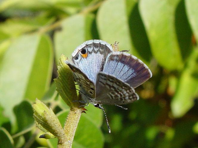 Cyclargus thomasi bethunebakeri, Miami Blue