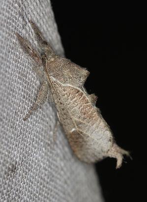 Givira anna, Anna Carpenterworm Moth
