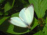 Ascia monuste, Great Southern White