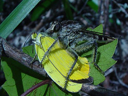Eurema dina, Dina's Sulphur being eaten by a robber fly