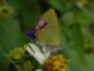 Chlorostrymon maesites, Amethyst Hairstreak